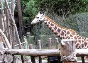 Woodland Park Zoo Giraffe Gives Birth