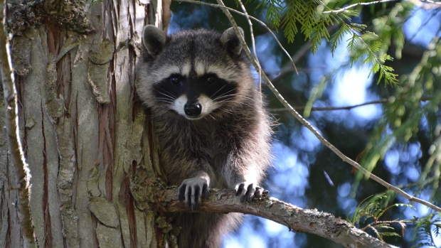 Vaccinated Raccoons in The Wild Program