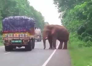 A Truck Full of Potatoes Was Stopped by a Hungry Elephant