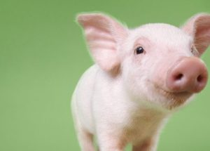 Genetically Modified Pigs Are Putting An End To TheOrgan Shortage Crisis