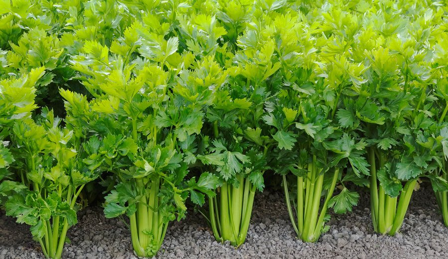 How To Quit Smoking With The Help Of Celery