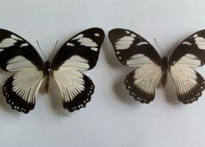 Scientists Discovered Which Genes Determine the Butterflies' Colors