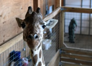 April the Giraffe To Have Another Baby Calf