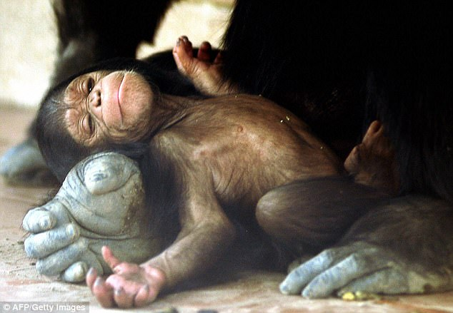The frightening reason why the female chimpanzees hides when they give birth