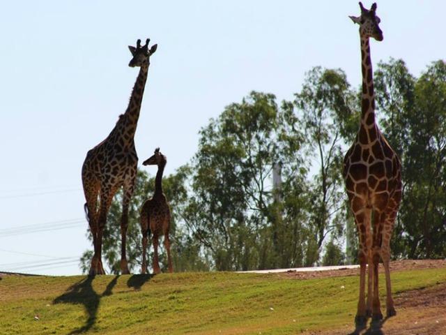 Released Photos of Siku The Giraffe Calf Born at The Phoenix Zoo Win The Internet's Heart