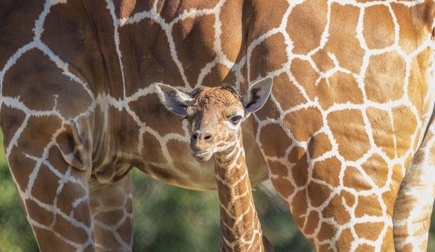 Jacksonville Zoo Had Two Giraffe Calves Born this Week