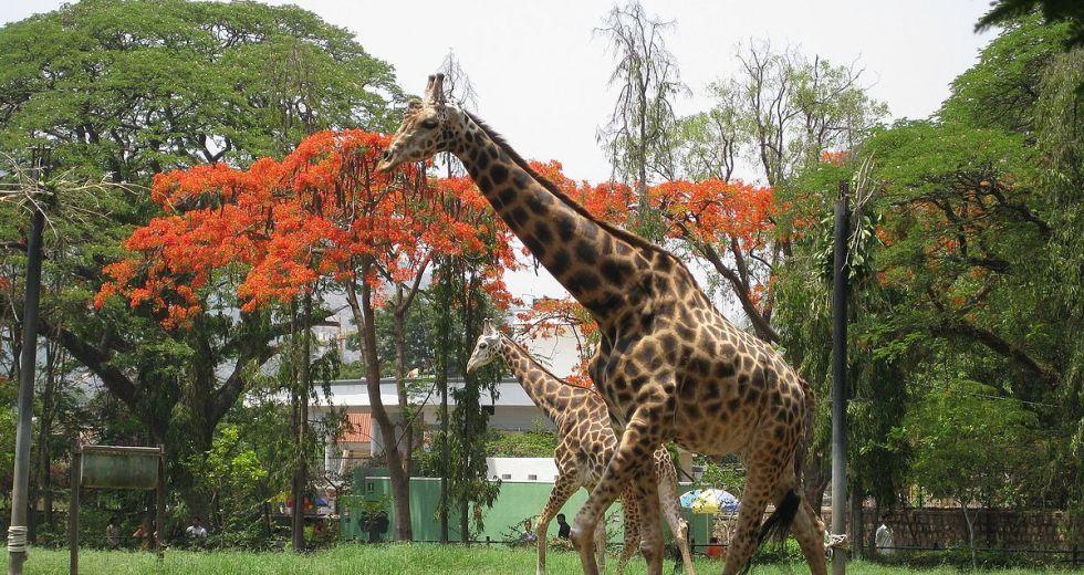 Krishnaraja, the oldest giraffe at the Mysuru Zoo died this Saturday