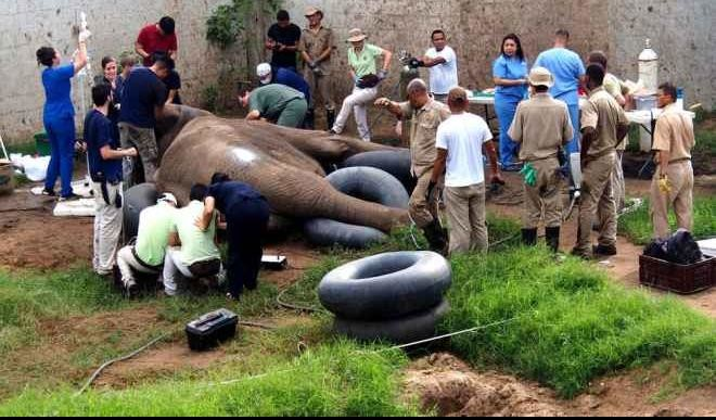 30 Veterinarians Have Repaired the Cracked Tusk of a five-ton African Elephant