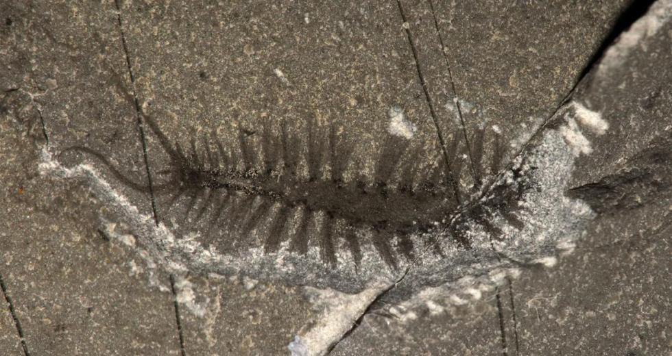 A 500-Million-Year Old Fossil Shows Scientists How Worms Evolved