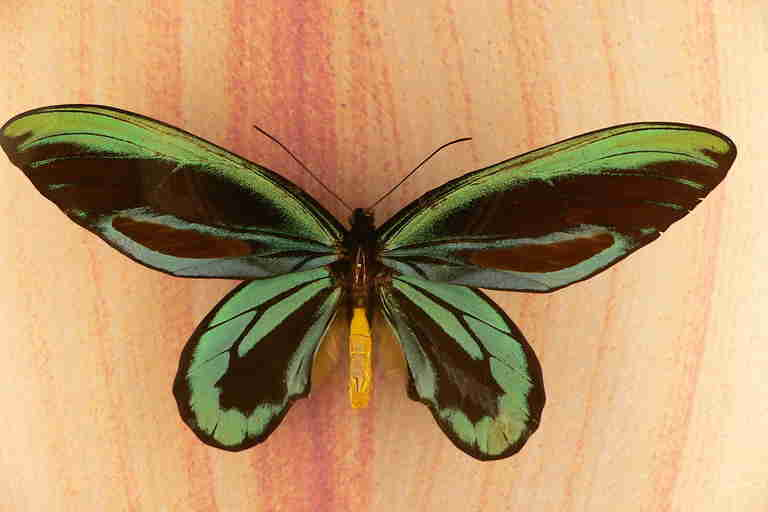 Butterflies and moths lived along with dinosaurs 200 million years ago