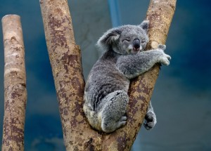Australians Enraged Over Koala Screwed to Wooden Post