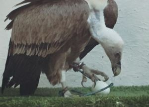 A Wildlife Sanctuary's Staff Members Were Flabbergasted As What They've Thought To Be A Male Vulture Was Found Laying An Egg