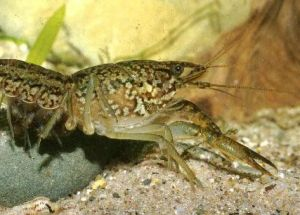 A Mutant Crayfish Is Cloning Itself