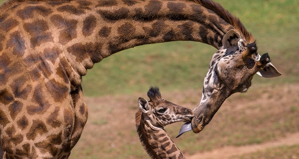 Giraffes Pregnant At The Cheyenne Mountain Zoo