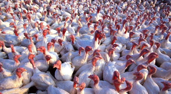 Low-pathogenicity Avian Flu Cases Appeared in Missouri