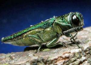 Is the Emerald Ash Borer Increasing Because of the Climate Change?