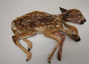 Two-Headed Deer Discovered In Minnesota Astonished The Scientists