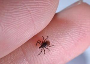 Nova Scotia Ticks Are Tested For Lyme Disease In New Brunswick – 41% Of The Tested Ticks Are Carriers