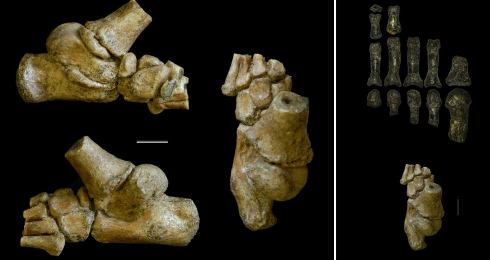 The Infant of an Early Hominid Could Walk on Two Feet and Was Also a Great Climber