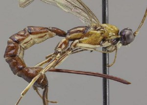 A New Wasp Species Found That Baffled Scientists With Its Monstrous Stinger