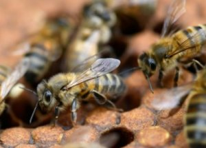 The Bees Could be Saved by the Help of Mushrooms