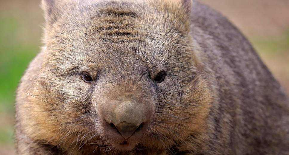 We Now Know Why Wombats Have Cubed Feces