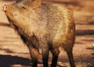 Tennessee Finding: Scientists Discover Fossils Of Pig-Like Creatures