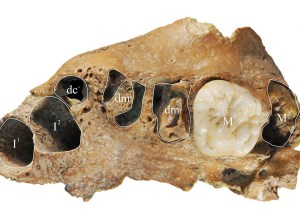 Ancient Human Found in China Presents Modern Dental Growth