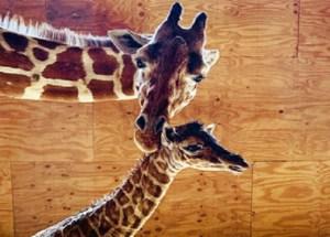 April The Giraffe Gave Birth To A Male Calf