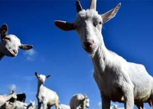 Goat Milk-Based Formula Promotes Gut Health For Infants