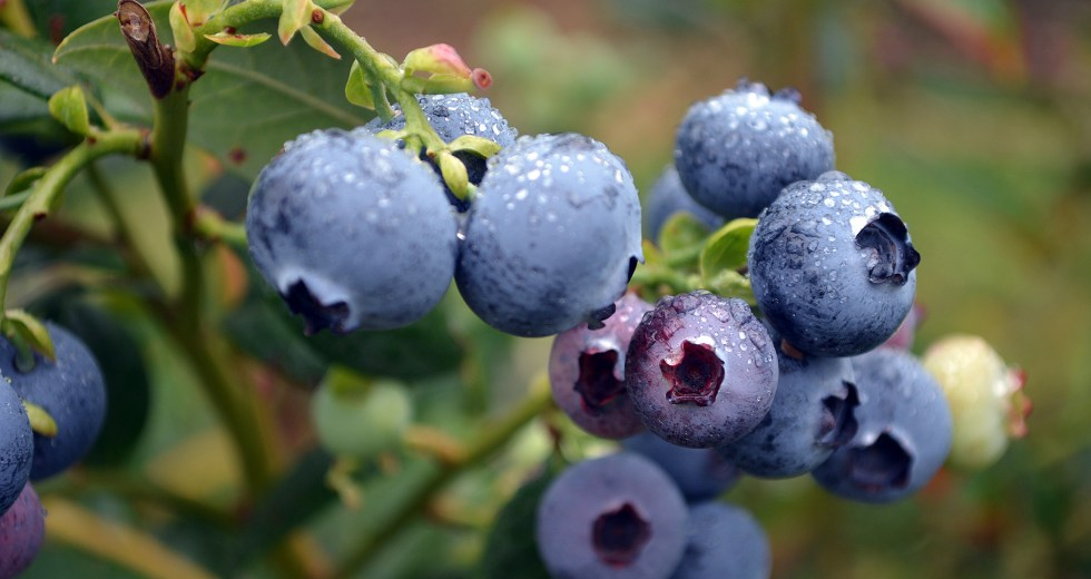 Blueberries Are Beneficial For Our Health, New Research Revealed