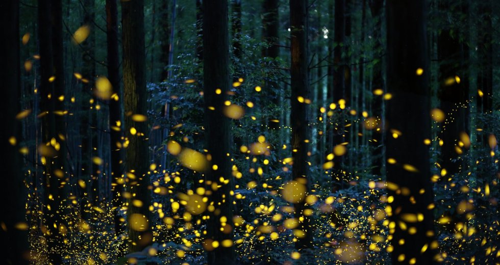 Fireflies Are On The Brink Of Extinction, And That Affects Entire Ecosystems