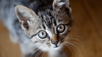 Cats And Coronavirus – Keep Your Little Felines Indoors Since They Can Get COVID-19