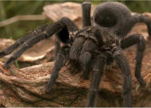 Scientists Can Finally Explain Why Tarantulas are Terrifyingly Prevalent