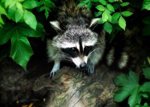 Wildlife Rabies Vaccines are Awaited in Northern Maine