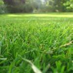 paragis grass