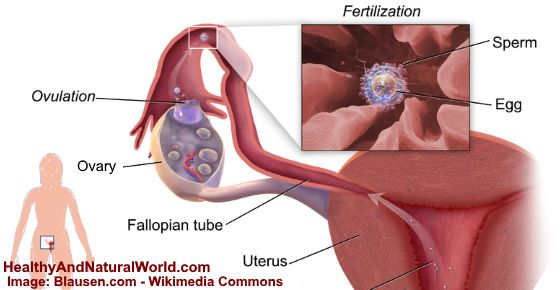 Stages Ovulation Discharge