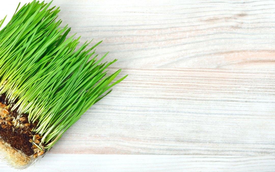 Myths about Wheatgrass