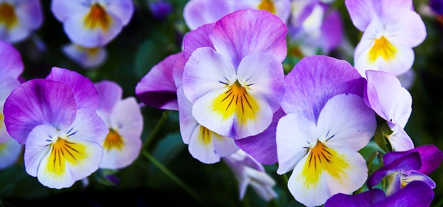 Pansy flowers, sweet and tart