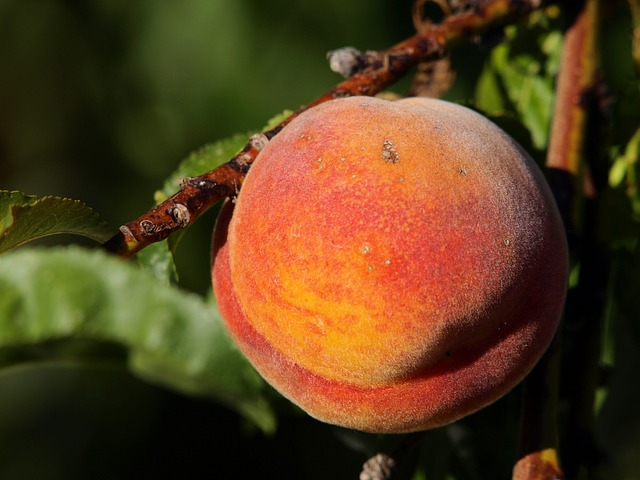 Peaches contain 8.4mg per cup