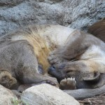 asian-small-clawed-otter-367511_640