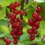 red-currant-8408_640