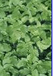 Parsley for Digestion