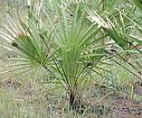 Picture of Saw Palmetto Plant