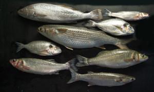 Veta La Palma Fish