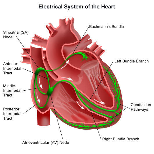 Image result for cardiac conduction system diagram