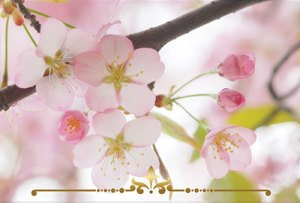 Japanese Cherry Blossom Scented Candles