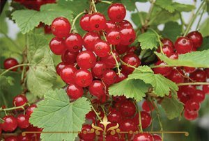 Red Currant Scented Candles
