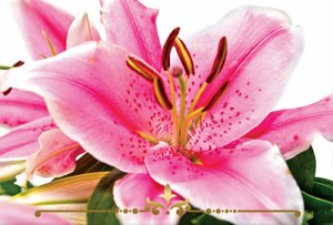 Stargazer Lily Scented Candles