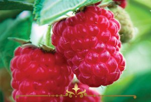 Sun Ripened Raspberries Scented Candles